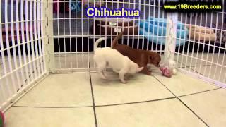 Chihuahua, Welpen, für, verkauf, In, Nordrhein Westfalen, Deutschland, Bayern, Hessen