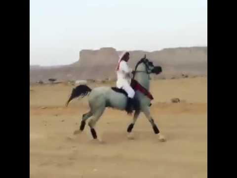Superb arab horse