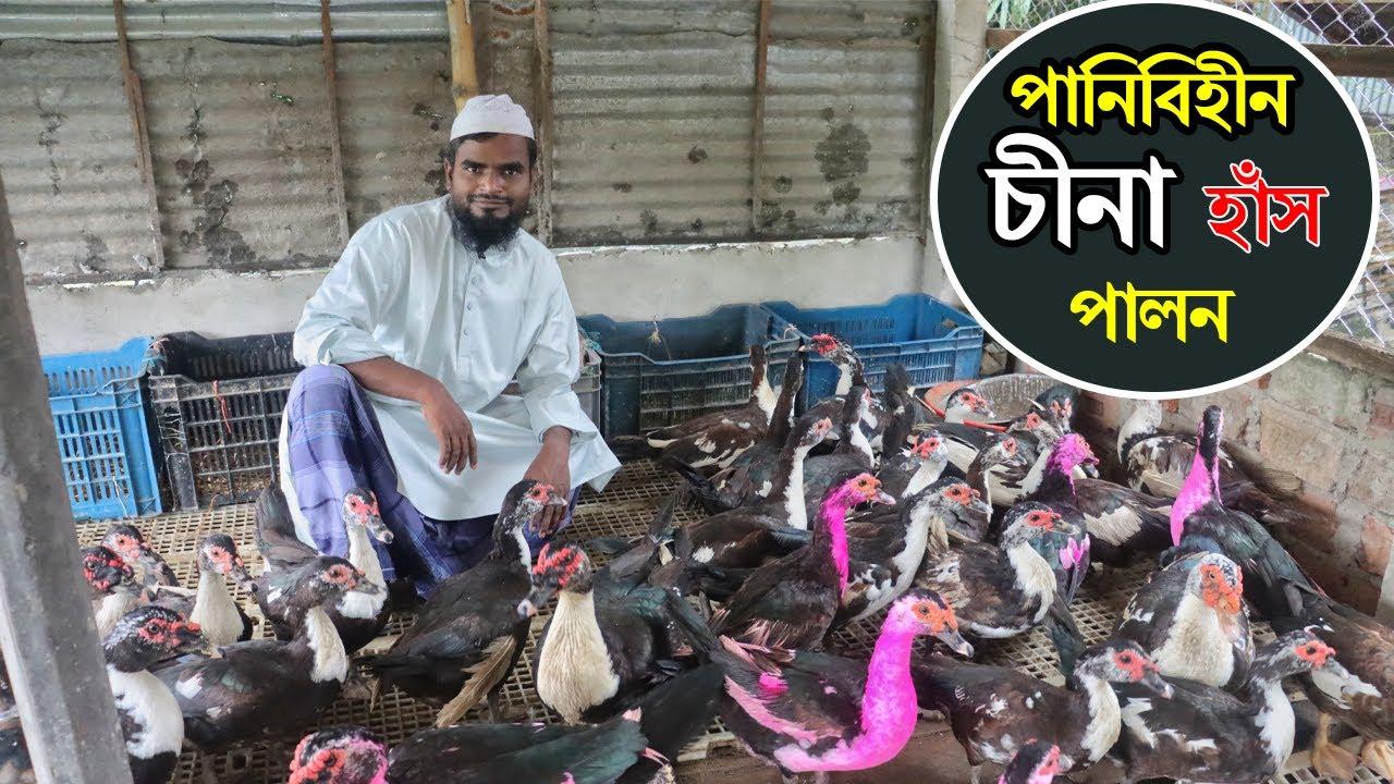 Download বাংলাদেশে পানিবিহীন চীনা হাঁসের খামার। Muscovy Duck Farming