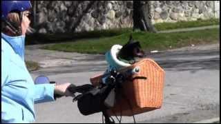 Min Pin Yuri On A Bicycle Ride