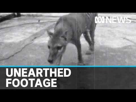 Newly discovered footage of last-known Tasmanian tiger released | ABC news