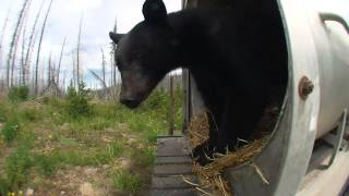 Dogs Chase Black Bear