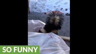 Naughty skunk caught going through garbage