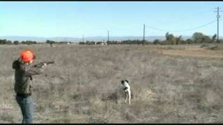German Shorthair Pointer Junior Pheasant Hunt California