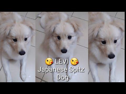 Funny sweet lebleb  My Japanese Spitz Dog