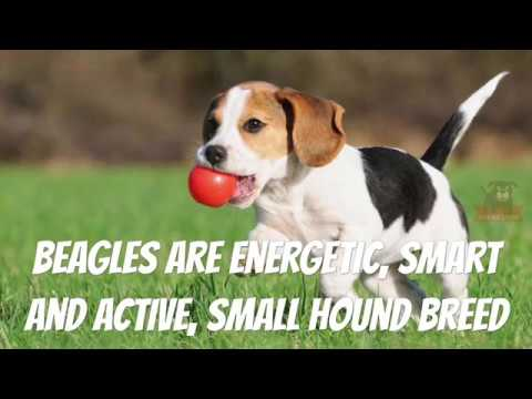 Beagle - Dog Breed Information, Life, Origin, Problems, Wikipedia (Whole Story)