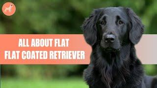Flat Coated Retriever: Dog Breed Information