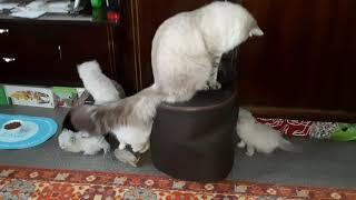 Сибирские Невские Маскарадные котята ...