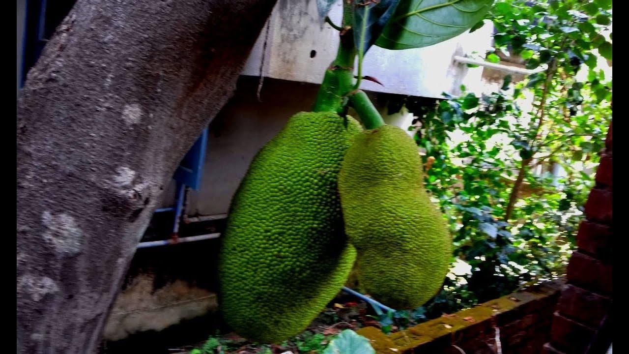 Kathal ( Echor ) Recipe || Jack fruit recipe || Echor Dalna || Echor Tarkari