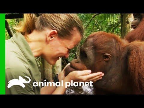 Taking The Next Step Towards Releasing Orangutans Into The Wild | Orangutan Island