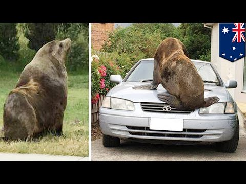 Thumbnail: Seal vs car: 200kg fur seal jumps on cars after waddling into suburb in Tasmania - TomoNews