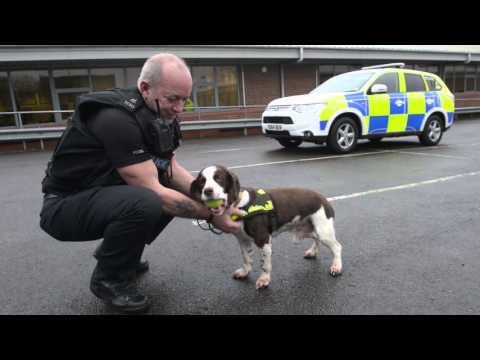UK's longest serving police dog, Brewster the springer spaniel, retires at 13