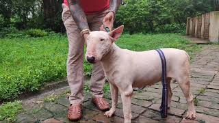 Bhayrav Kennel | BULLMASTIFF Breed | whippet |  Bull Terrier  | Labrador | Am Bully | Scoobers