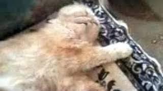 Прикол ! Кот спит с открытыми глазами.