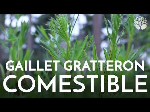 GAILLET GRATTERON, plante sauvage comestible.