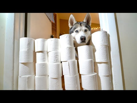 My Husky Reacts To The Toilet Paper Roll Challenge!
