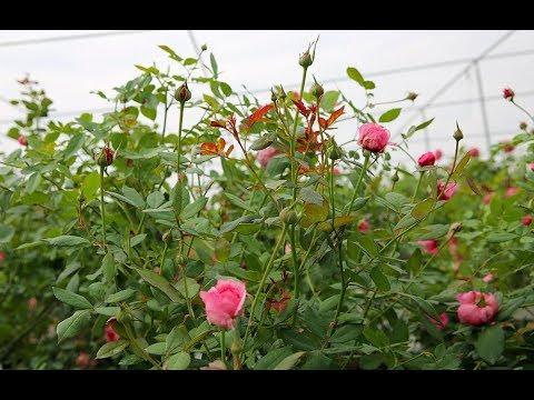 Hướng dẫn cách cắt tỉa hoa hồng đúng kỹ thuật | Cách trồng và chăm sóc hoa hồng