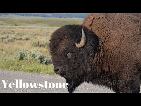 Yellowstone National Park - Wildlife - Park Travel Review