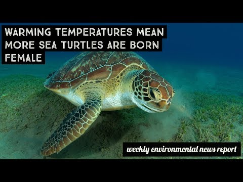 Warming temperatures mean more sea turtles are born female | greenversal