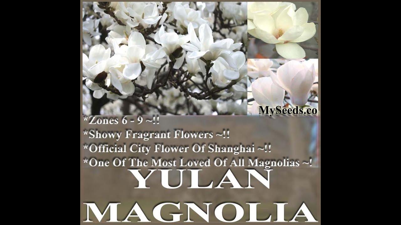Yulan Magnolia Magnolia Denudata Tree Seeds On Wwwmyseedsco Youtube