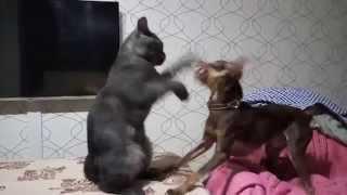 Кот боксирует на двух лапах.Прикол!2015 Той терьер и Британский кот.