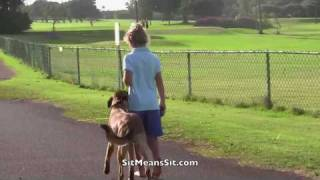 Sit Means Sit Hawaii Malinois Puppy Learns Off Leash Heeling