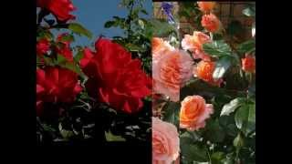 Роза Роза!!! Rose Обрезка роз типа шраб
