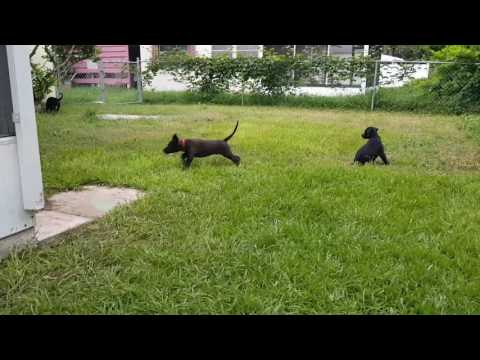 Labrador doberman mix puppies doberdor