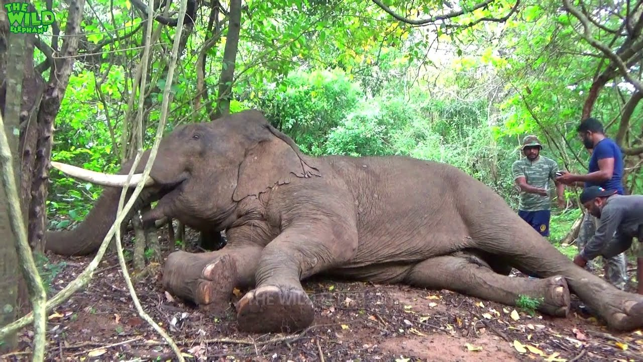 Huge injured elephant gets treated and injected:Emergency Rescue Operation
