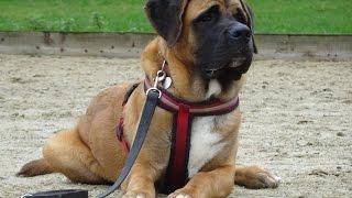 Bear - St Bernard x English Mastiff - 2 Week Residential Dog Training at Adolescent Dogs