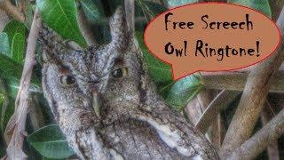 Spooky Halloween Screech Owl Call Ringtone !