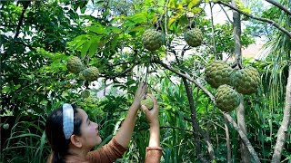 Picking Sweetsop And Ripen - Yummy Cooking