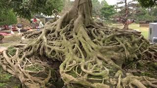 2 Cây Sanh 4 tỷ và cây Khế cổ thụ 1 tỷ 500 triệu ở Hội Hoa Xuân Phố nhà giàu
