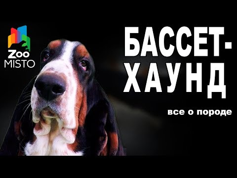 Бассет-Хаунд - Все о породе собаки | Собака породы - Бассет-Хаунд