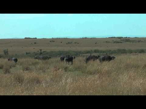 Buffalo in Masai Mara grazing