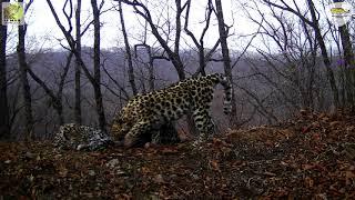 Грудное вскармливание дальневосточного леопарда впервые попало на фото