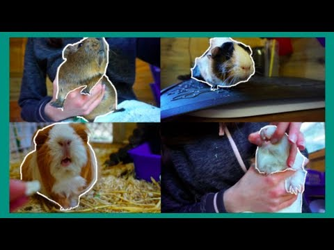 How I Health Check My Guinea Pigs (at home)