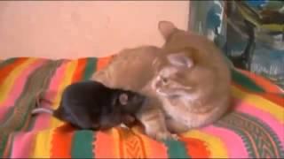 Кот и крыса - друзья