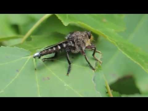 Giant Robber Fly - Promachus Bastardii