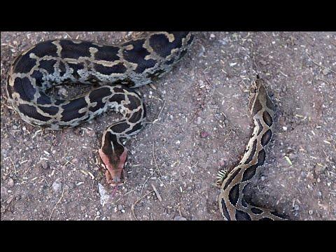 अजगर साप और घोणस साप इन दोनों का फर्क | Difference of Indian rock python and Russell's viper snake