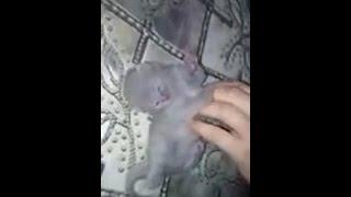 Новое смешное видео. Видео Приколы.Шотландский котёнок девочка Нюша 7 дней