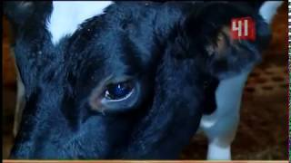 Туберкулез  у коров