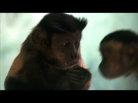 Capuchin monkey fights for equal rights - Inside the Animal Mind: Episode 3 - BBC Two