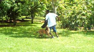 Orlando,miami Dog Training, K9 Enforcement Police Attack Dog Hero