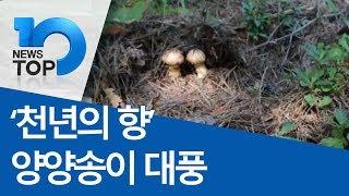 '천년의 향' 양양송이 대풍