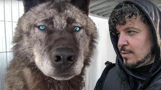 САМЫЙ ГИГАНТСКИЙ ВОЛК В МИРЕ! Невероятная история канадского волка. Giant wolf in the world!