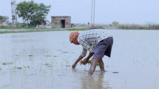 An Indian farmer planting rice seedlings in the field - Village agriculture life