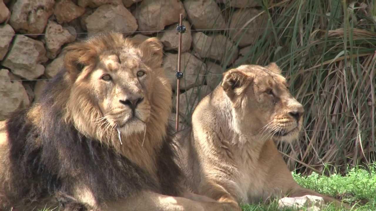 האריה מלך החיות