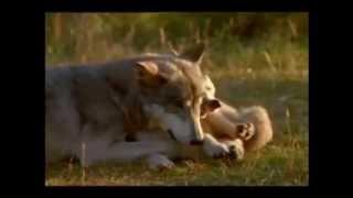 Perro Lobo Checoslovaco: Descendiente directo del Lobo (5)