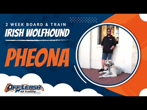 Irish Wolfhound Pheona |  Irish Wolfhound Dog Training | Off Leash K9 | Guaranteed Results